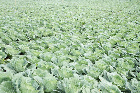 cabbage patch: cabbage farm Stock Photo