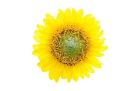 sunflower close up isolated on white background photo
