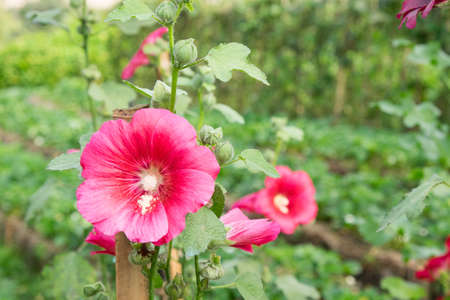 hollyhocks: Flowers in the garden,Flowers Holly Hock (Hollyhock) pink closeup Stock Photo