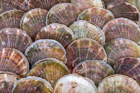 Fresh clams background, seashells close up, Mazagon, Huelva, Spain