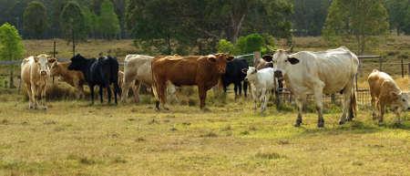 australian beef cow: australian beef cattle herd panorama scene