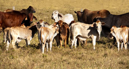 Australian Beef cattle cows with their calves panorama scene photo