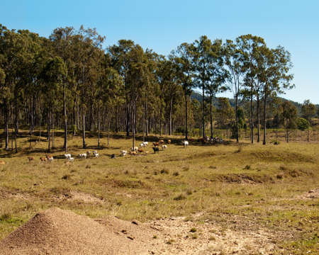 australian beef cow: Herd of Australian beef cattle grazing on winter pasture with gum tree background