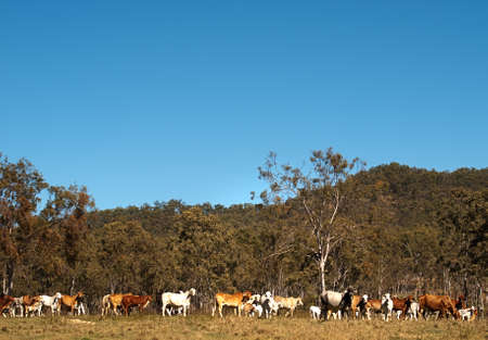 australian beef cow: Herd of Australian beef cattle with clear blue sky background
