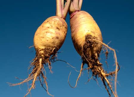 rutabaga: Healthy food Organic swedes rutabaga freshly picked edible vegetable against blue sky background
