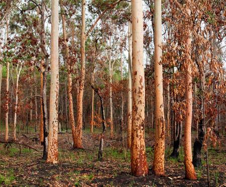 bushfire: earthy tones regrowth of eucalypt gumtree forest woodland after bushfire in australia