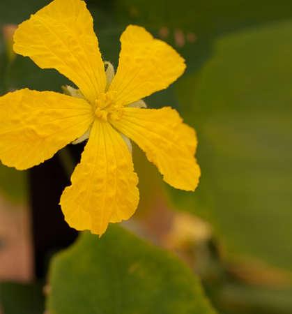 luffa: Loofah luffa gourd yellow flower close up Stock Photo
