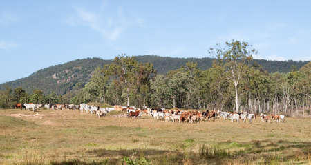 australian beef cow: Australian Beef Cattle herd ranch rural scene