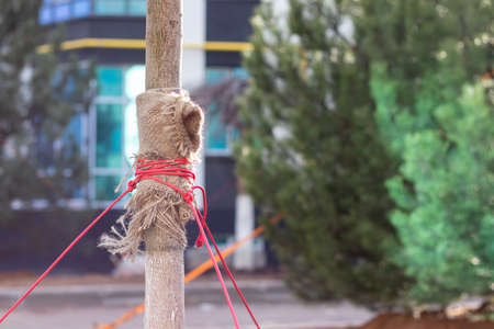Young tree trunk wrapped in burlap and red ropes against a blurred background. Protecting trees from breaking and falling due to strong wind