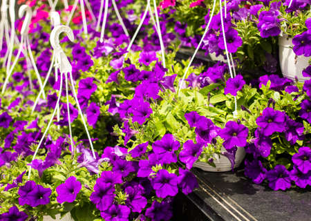 Colorful Impatiens Flowers in containers photo