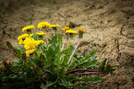 dry land: Dandelion flowers on dry land Stock Photo