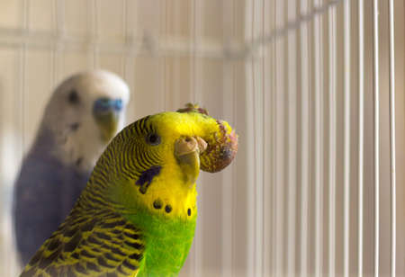malignant: Budgerigar with tumor on the head - malignant tumor