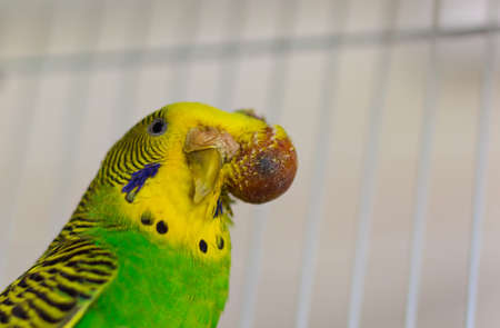 malignant growth: Budgerigar with tumor on the head - malignant tumor-Focus to tumor
