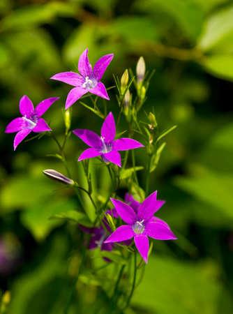 patula: Campanula patula flowers