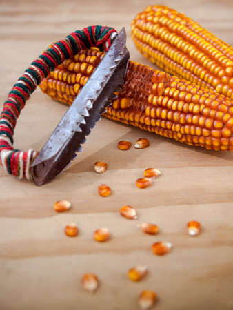 drying corn cobs: Corn cobs with manual hand tool to clean maize on wooden background