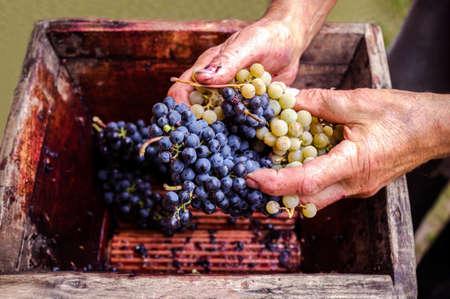 grapes: Persona que pone las uvas en la prensa manual de edad para las uvas aplastado