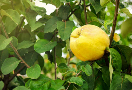 membrillo: membrillo amarillo en el árbol Foto de archivo