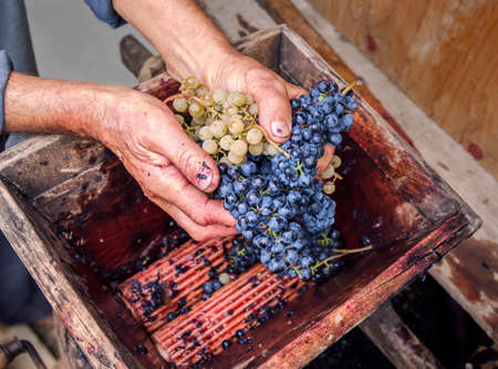 wine grower: Person putting grapes in manual grape crusher Stock Photo