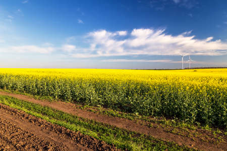 yellowing: Rape flowers were yellowing the fields with blue sky Stock Photo