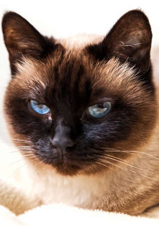 siamese cats: Cute Siamese cat looking at camera Stock Photo