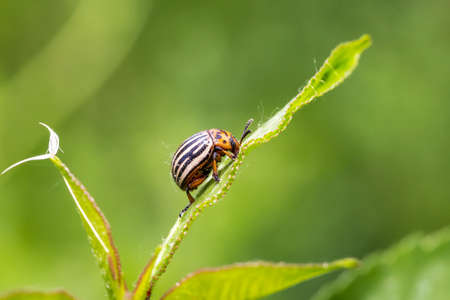 Colorado potato beetle on leaves Banque d'images - 118564007