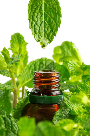 Essence from mint plant drips into a cosmetic bottle. Essential oil dripping from leaf to the bottle. Essence liquid cosmetic, Aromatherapy.