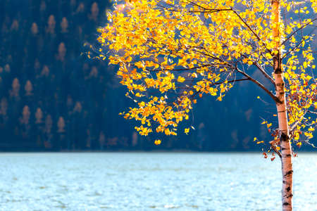 Yellow autumn tree with leaves near the lake and forest in background on Sf Ana lake, Romania Фото со стока