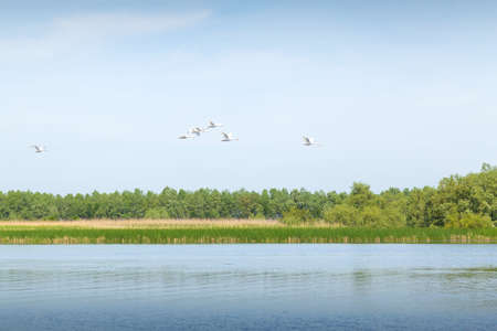 White swans flying through the Danube Delta. group of white swans flying. Mute swans on the sky