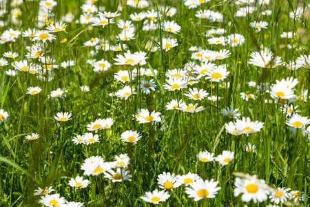 Daisy flowers in the meadow