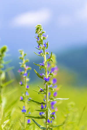 A blue flowers of blueweed (Echium vulgare) on the meadow background