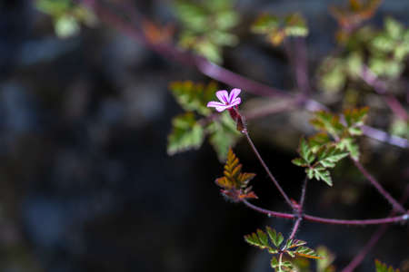 Storksbill flower (Geranium robertianum), herb robert Фото со стока
