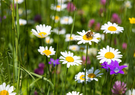 Bee on daisy flowers in the meadow Фото со стока