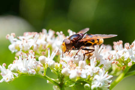 A bee, hornet is sitting and  feeding or pollinate white flowers Stock fotó