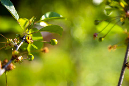 Cherry branches with unripe cherries