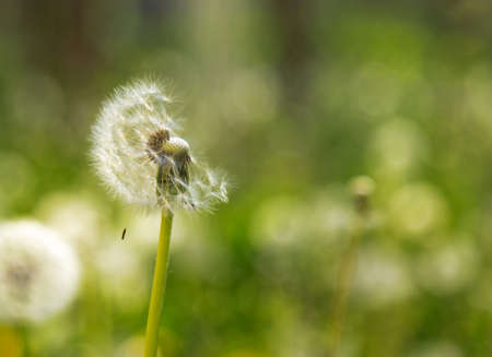 Dandelion seed pod in a natural background. White fluffy dandelions.