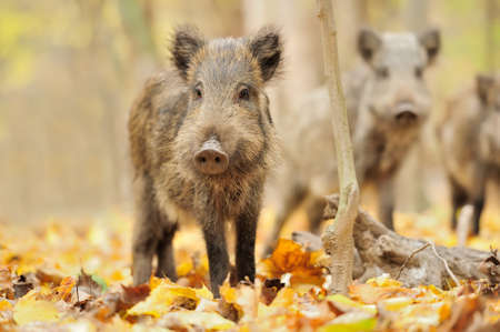 Wild boar in autumn forest photo