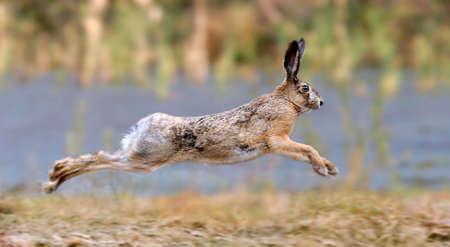 Hare running in a meadow  Foto de archivo