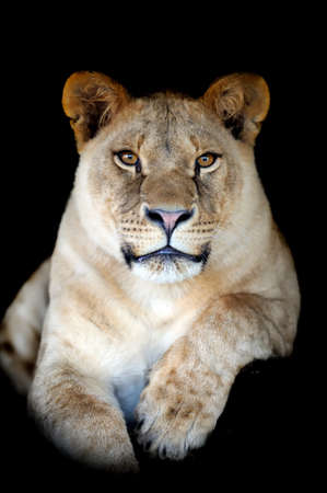 adult kenya: Lion portrait on dark background