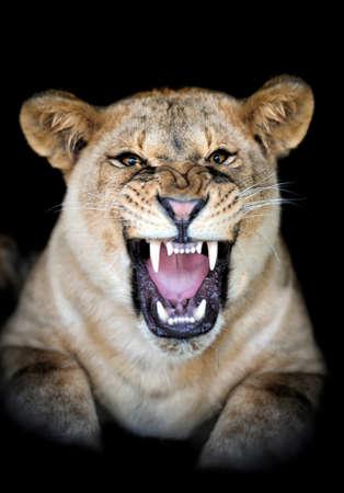 Lion portrait on dark background photo