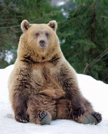 grizzly: Ours dans la forêt d'hiver