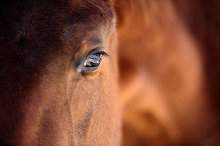 horses: Eye of Arabian bay horse Stock Photo