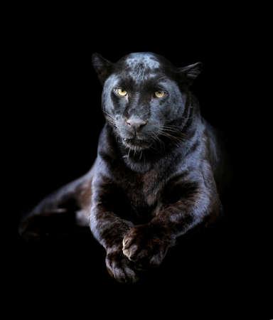 jaguar: Primer plano de leopardo negro sobre fondo oscuro