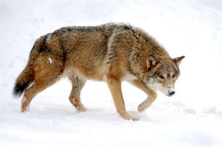 겨울에 아름 다운 야생 회색 늑대