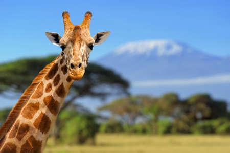jirafa: Jirafa delante de Kilimanjaro monta�a - parque nacional de Amboseli Kenia Foto de archivo