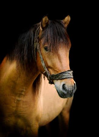 Brown horse portrait on black background photo