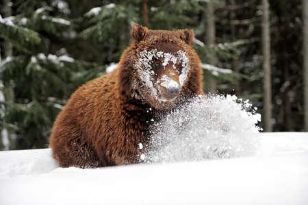 brute: Wild brown bear in winter forest