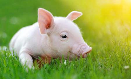 Junge Schweine auf einem grünen Gras Frühjahr Standard-Bild - 36889430