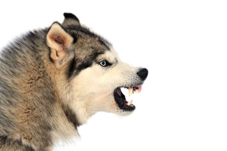 enraged: Angry siberian husky dog winter portrait
