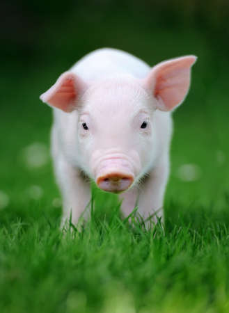 Young pig in a spring green grass photo
