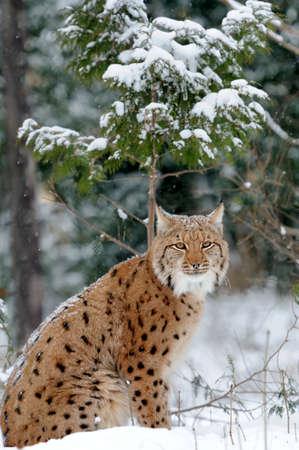 lince: Lince joven en el bosque de invierno